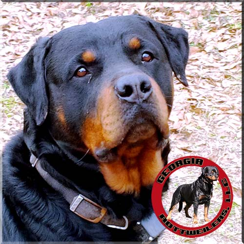 contact-georgia rottweilers
