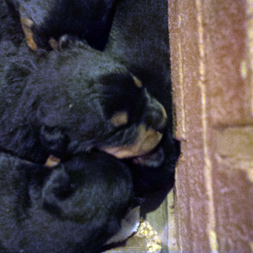 BABIES3-georgia rottweilers