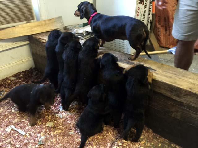 cute-puppies-georgia-rottweilers