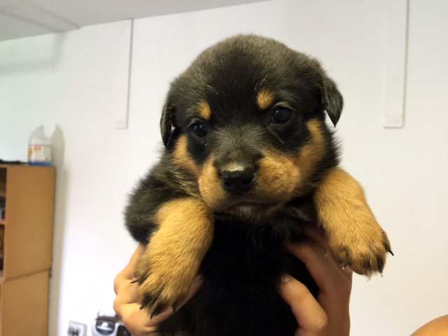 cute-puppy-georgia-rottweilers