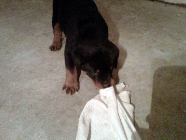 puppy2-georgia-rottweilers
