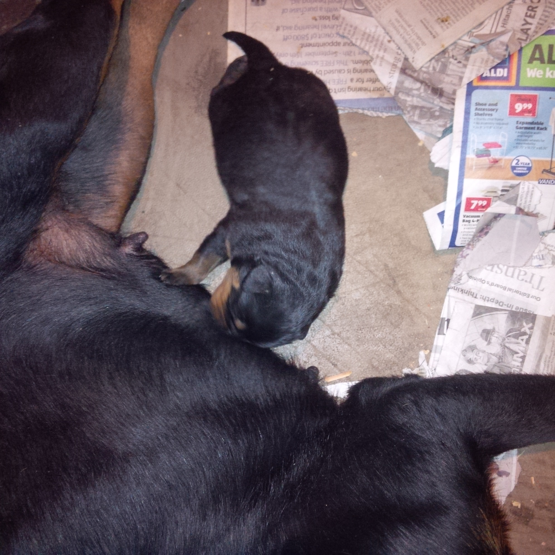 puppy4-georgia-rottweilers