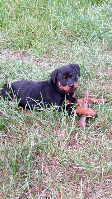 cute-puppies-georgia-rottweilers-2